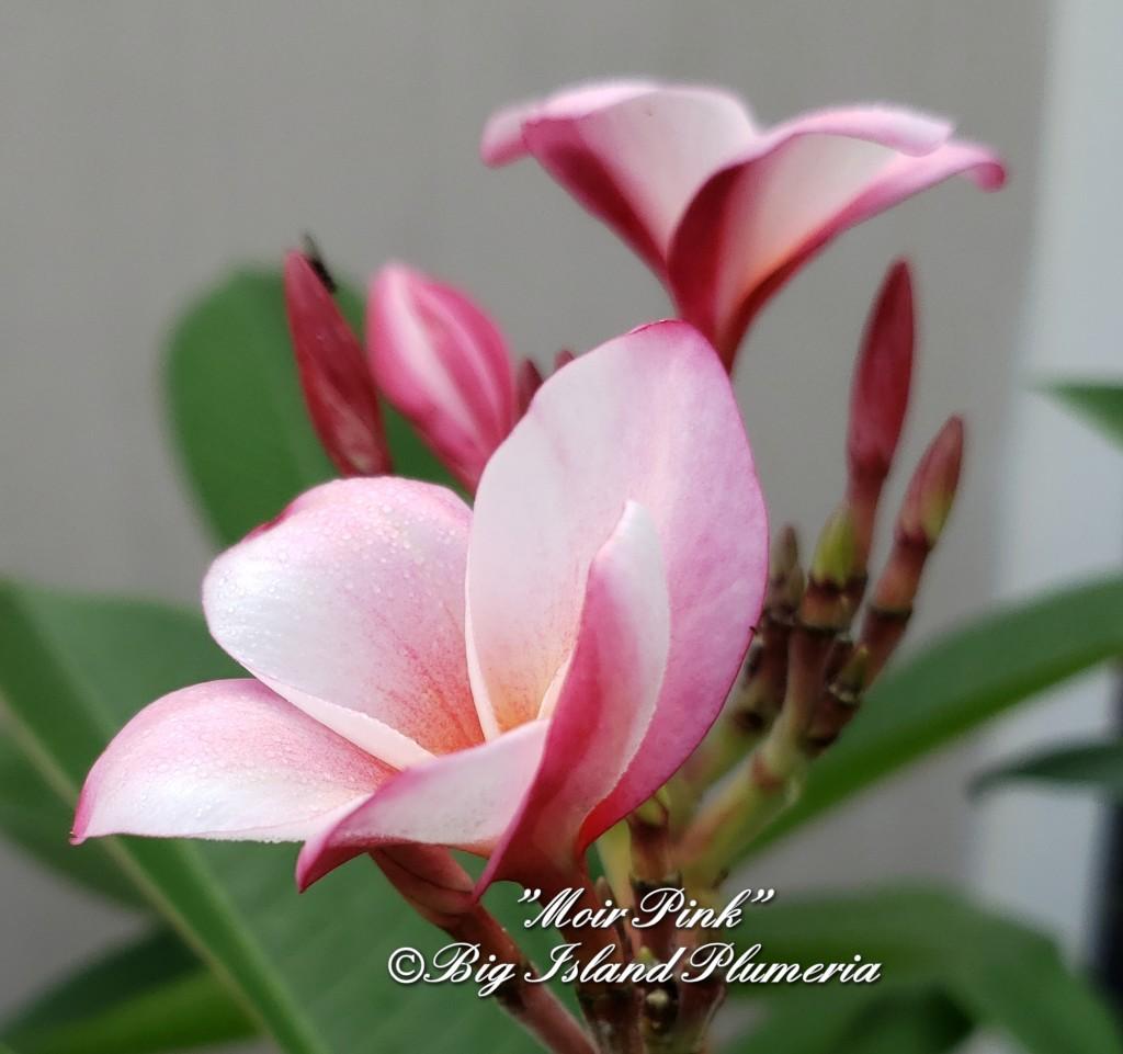 Moir Pink