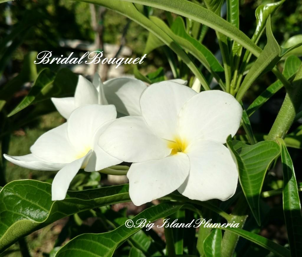 Pudica (Bridal Bouquet)