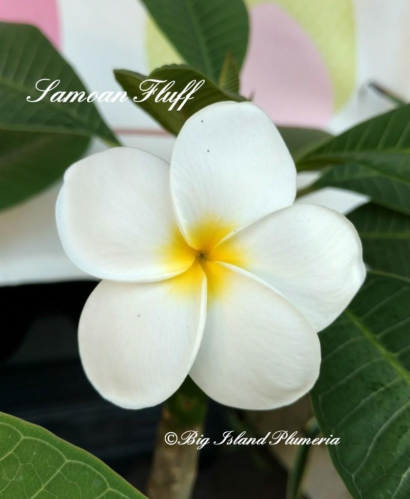 Samoan Fluff